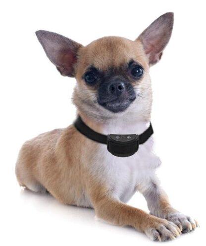 blafband trillen kleine hond